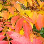 うるしの紅葉 見頃10月~11月上旬