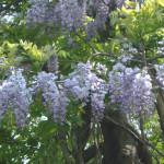 藤の花 見頃6月~7月上旬