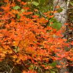 もみじの紅葉 見頃10月~11月上旬