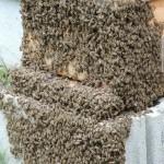 日本みつばち分蜂